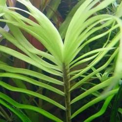 Eichornia azurea