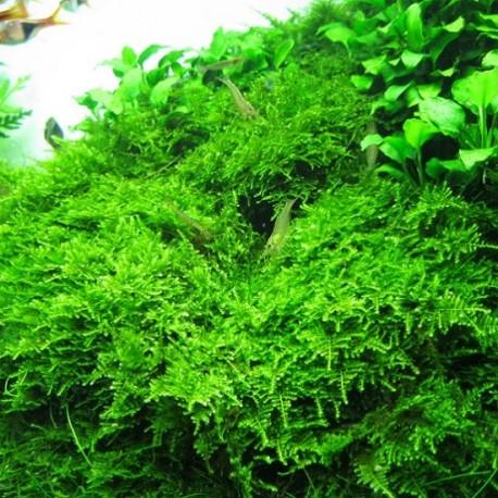 Christmass Moss (Vesicularia montagnei)
