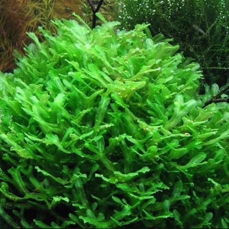 Monosolenium tenerum (Pellia)