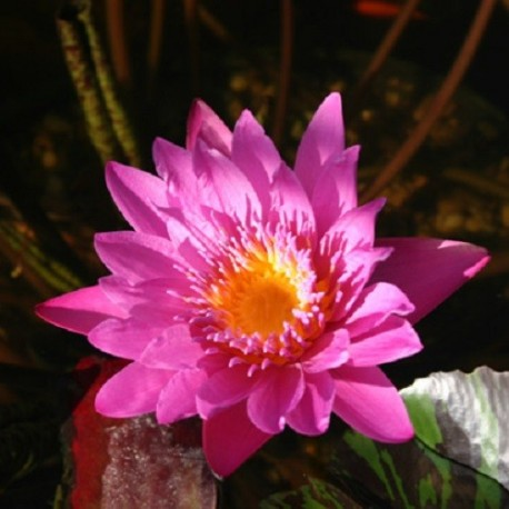 "Nymphaea ""Queen of Siam"""