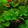 Nymphaea lotus (zenkeri green tiger)