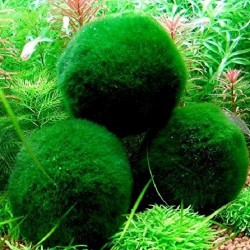 Aegagropila linnaei (Marimo Ball)