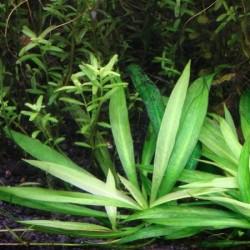 Helanthium bolivianum 'quadricostatus'