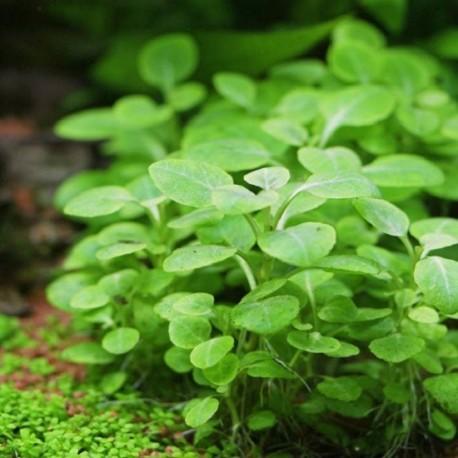 "Lobelia cardinalis ""Dwarf"" (Small Form)"