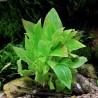 """Hygrophila corymbosa """"Compact"""""""