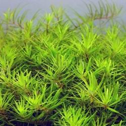 Limnophila sp. Vietnam