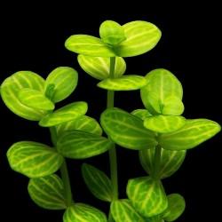 Lindernia rotundifolia 'Variegata'
