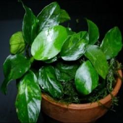 Anubias barteri var. nana 'Wrinkled Leaf'