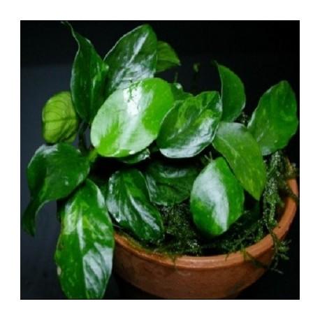 "Anubias barteri var. nana ""Wrinkled Leaf"""