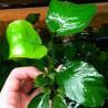 Anubias barteri var. Broad Leaf