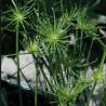 Cyperus haspan var. viviparus ( Papirus Anão )