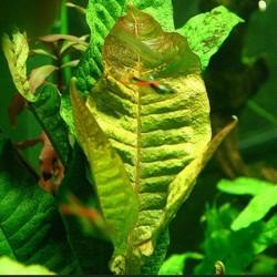 Microsorum pteropus 'Red Tip'