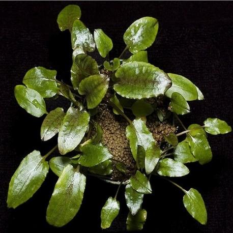 """Cryptocoryne wendtii """"Broad Leaf"""""""