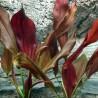 """Echinodorus """"Spidernet"""""""