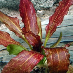 "Echinodorus ""Red Flame"""