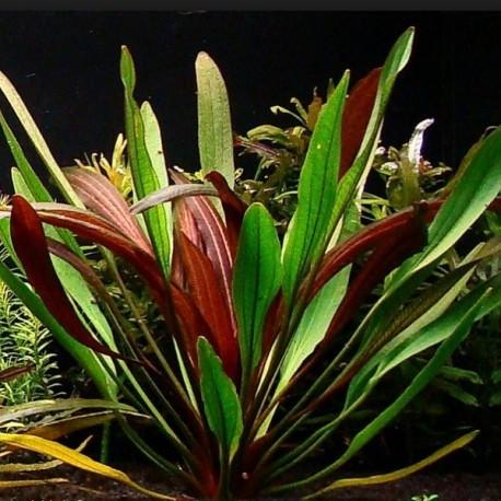 "Echinodorus ""Rubin Narrow Leaf"""