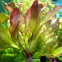Echinodorus 'Frans Stoffels'