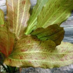 Echinodorus Dschungelstar Nr. 08 Ozelot Gold