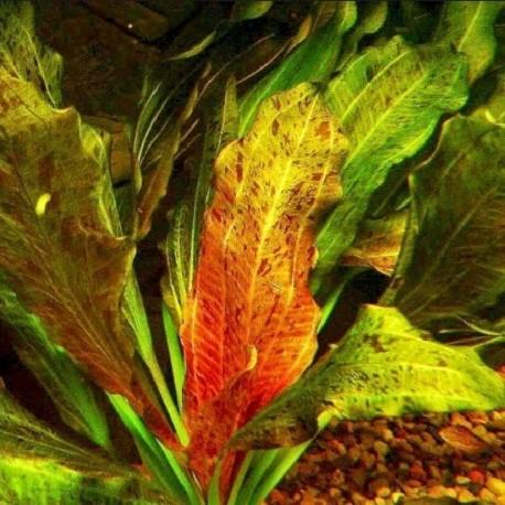 """Echinodorus """"Ozelot"""" (Red)"""