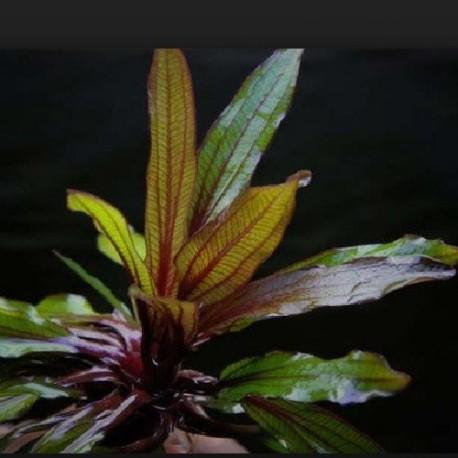 """Echinodorus horemanii """"Rot"""""""