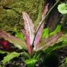 """Echinodorus """"Oriental"""""""