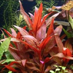 Alternanthera reineckii 'Roseafolia'