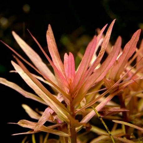 Ammannia gracilis