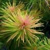 "Ludwigia inclinata var. verticillata ""Cuba"""