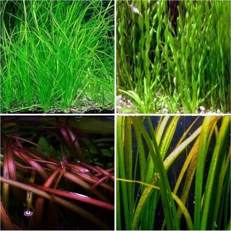 Kit Plantas - Vallisneria I