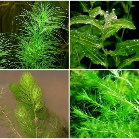 Kit Plantas - Oxigenadoras II