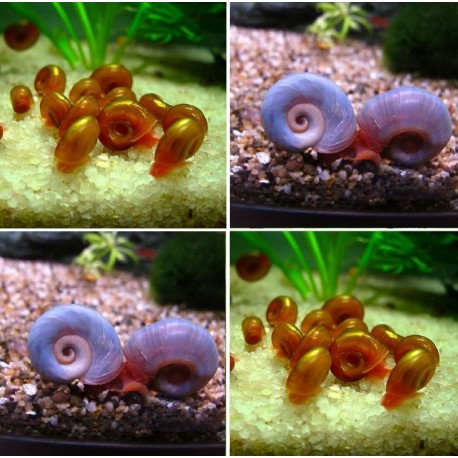 Kit Caramujos - Blue & Red Ramshorn