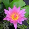 """Nymphaea capensis """"Pink"""""""
