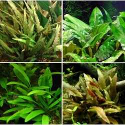 Kit Plantas - Cryptocoryne