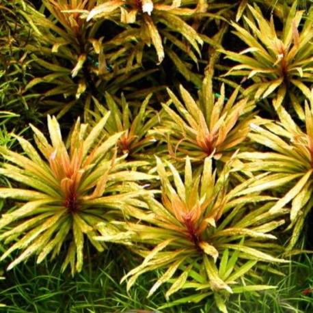 """Pogostemon sp. """"Broad Leaf"""""""