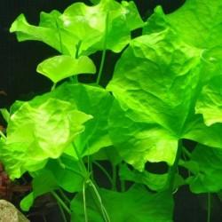 Nymphoides hydrophylla 'Taiwan'