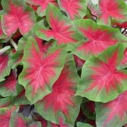 Caladium tropical