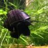 Pomacea diffusa 'Purple Striped'