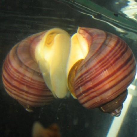 Pomacea diffusa 'Magenta Striped'