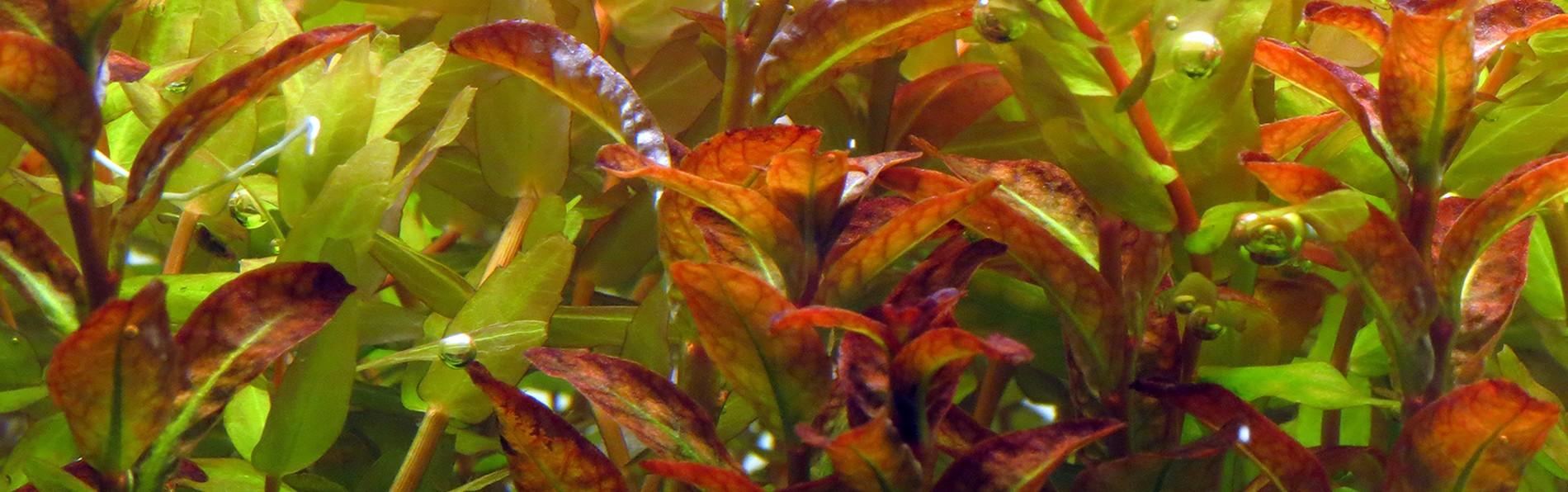 Kit de plantas médias na cor vermelha